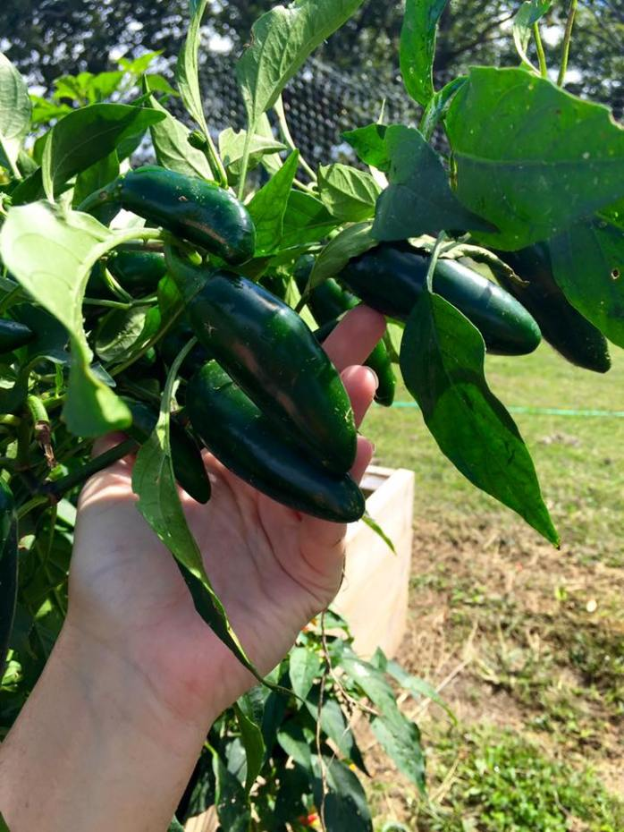 Jalapeno Peppers from the Garden